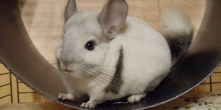 Chinchilla Wheels