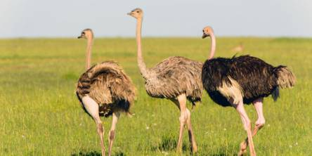 Learn How Can Ostrich Oil Helps You to Get Rid of Pain Right Now